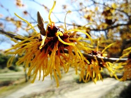 国営飛鳥歴史公園に咲くマンサク