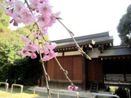 神楽殿と桜