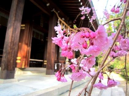 飛鳥坐神社の枝垂れ桜