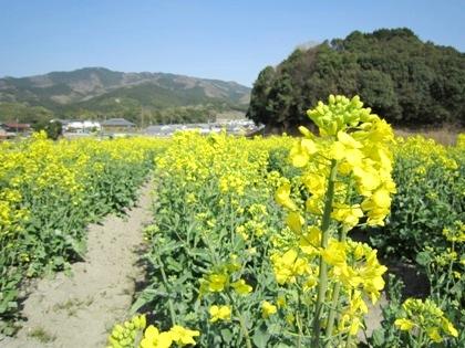 崇神天皇陵 菜の花