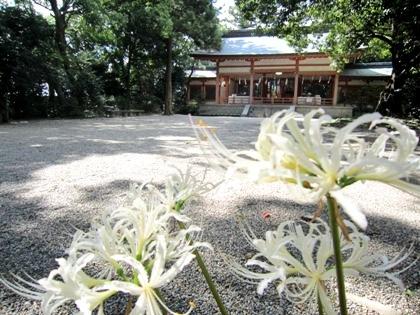 売太神社 白いヒガンバナ