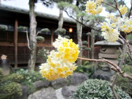 中庭に開花するミツマタ