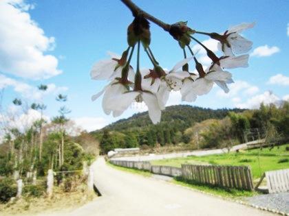 桧原神社近くの桜