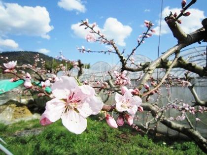 桃の花 三輪山