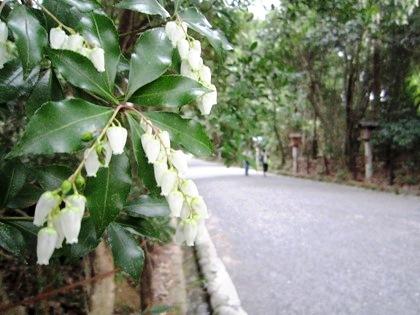 大神神社参道の馬酔木