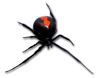 セアカゴケグモの画像 p1_28