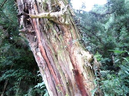 山の辺の道の木