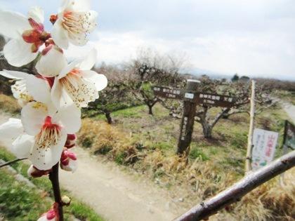 山の辺の道の梅 開花する梅