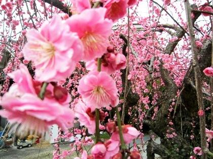 山の辺の道に開花する枝垂れ梅