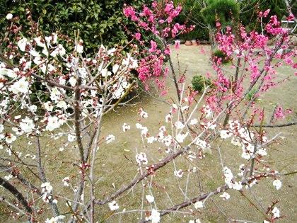 大和長寿道に開花する梅
